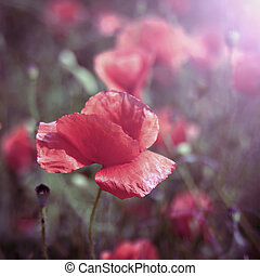 red field poppy flower closeup