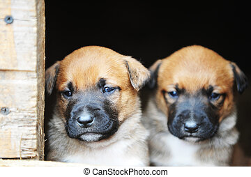puppies belgian shepherd malinois - Funny young puppies...