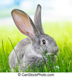 Grey rabbit in green grass - Young domestic grey rabbit in...
