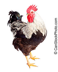 Rooster on white background - Rooster with white-black...