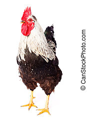 Rooster on white background