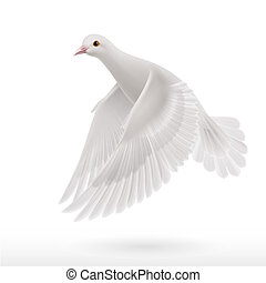 White dove - Realistic white dove on white background as...