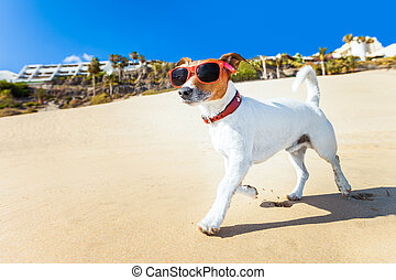 dog running at beach - dog with sunglasses running at the...