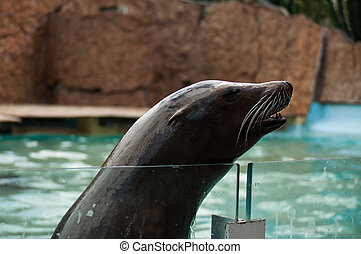 Sea lion in swimming pool, Lisbon Zoo, Portugal