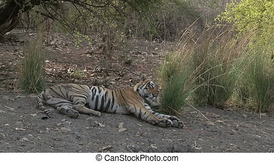 Bengal Tiger (Panthera tigris tigris) relaxing in shade,...