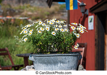 Summer in Sweden - a bucket with chrysanthemums on a sunny...