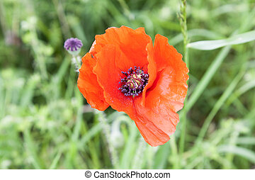 Red poppies anzac remembrance day world war