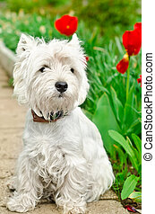west highland terrier - west highland white terrier in a...