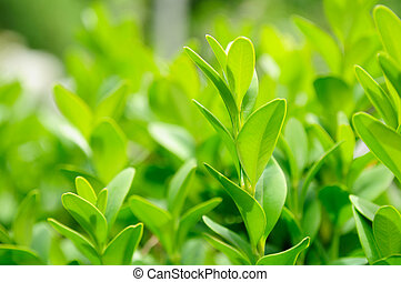 Green Box (Boxwood) Leaves Close-up