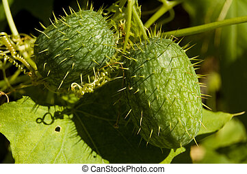 Wild cucumber plant shot at the end of summer
