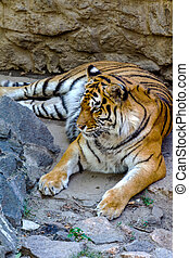 Bengal tiger resting on a stone hillside in a bright sunny...