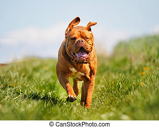 Dogue de bordeaux - Purebred dog outdoors on a sunny summer...