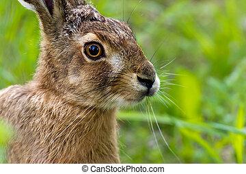 Hare - A closeup of the European hare (Lepus europaeus) on a...