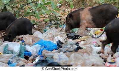 Pigs  feeding in trash - Pigs on street feeding in trash