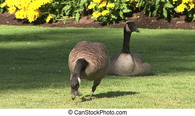 Canadian Geese - Two Canadian geese, Branta Canadensis, in a...