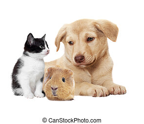 kitten and puppy and guinea pig