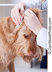 Vet cleaning dog's ear - Vet cleaning red dog's ear at...