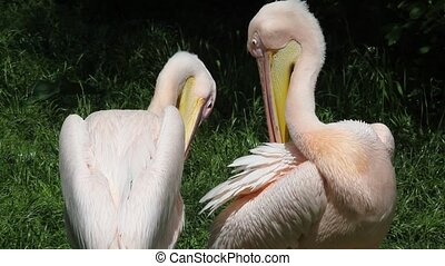 Two white pelicans sitting on the river bank
