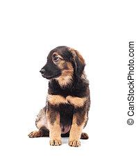 branca, cão, fundo, isolado