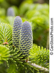 Macro photo of korean fir (abies koreana) cones - Macro...