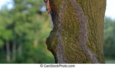 oak processionary caterpillar crawling up on a oak tree