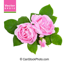 Pink roses. Vector illustration.