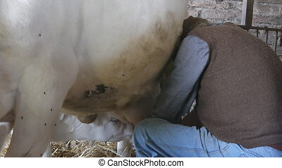 farmer milking manually - farmer milking cow manually in the...