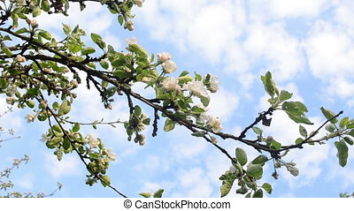apple tree twig bloom - White blooming apple fruit tree...