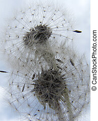 Puffballs - Seedlings on a dandelion ready for dissemination