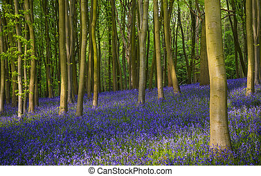 A carpet of bluebells - Ancient bluebell woods in...