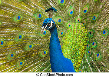 Peacock close-up - Proud Peacock stares intently whilst...