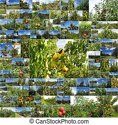 Photo Collage orchards of apples and pears