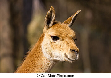 Young vicuna observing the area