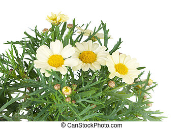 Daisies flower, isolated over white background