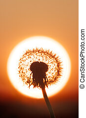 Sun-silhouetted dandelion - A clock dandelion is silhouetted...
