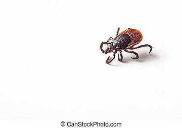 Tick - parasitic arachnid blood-sucking carrier of various...