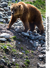 Grizzly bear - Full body profile of a big female Grizzly...