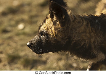 African Painted Dog Lycaon pictus pup