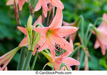 Hippeastrum - Beautiful pink Hippeastrum flowers in nature