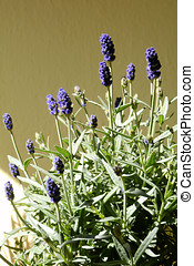 blooming lavender in the garden