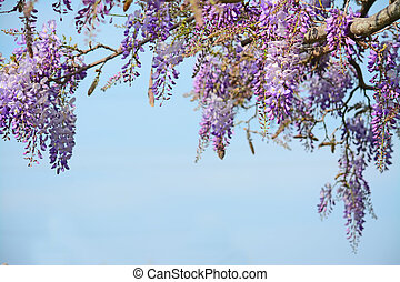 wisteria and sky - wisteria flowers under a blue sky