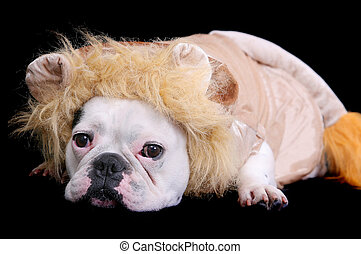 bulldog lion - one sad looking white bulldog dressed as a...