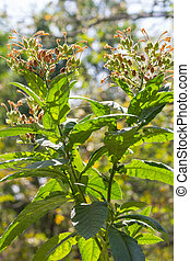 Tobacco tree with seeds and sunlight