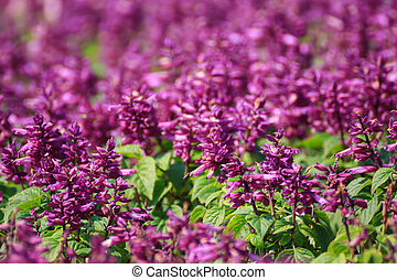 Purple Salvia - Beautiful purple salvia flowers background