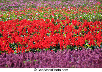 Salvia background - Beautiful purple and red salvia flowers...