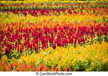 Celosia flowers - Beautiful red, orange and yellow celosia...