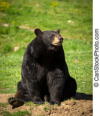 Large Eastern Black Bear Sitting Down - A large Eastern...