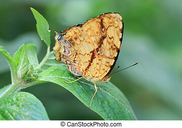 Butterfly on the green leaf , Brush-footed butterfly...