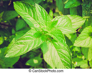 Retro look Peppermint picture