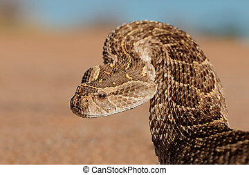 Defensive puff adder - Portrait of a puff adder Bitis...